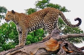 Leopards in the mountains behind Sabie | Sabie, Mpumalanga
